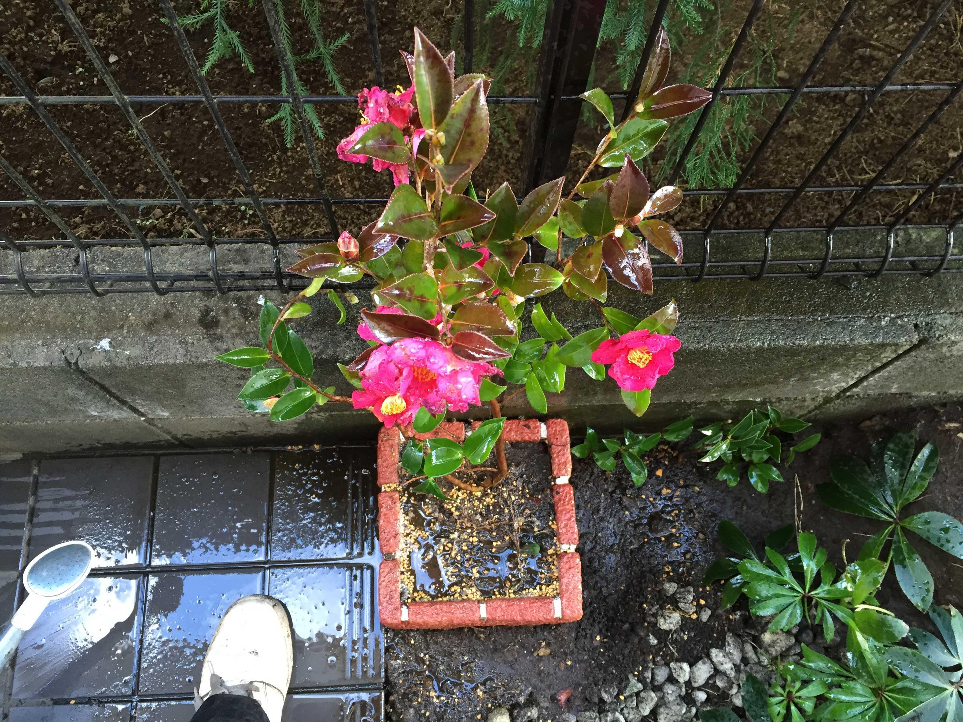 さざんか(山茶花)をブロックプランターに植え付け