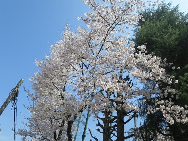 南多摩中等の桜