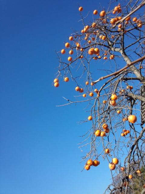 オレンジ色の柿