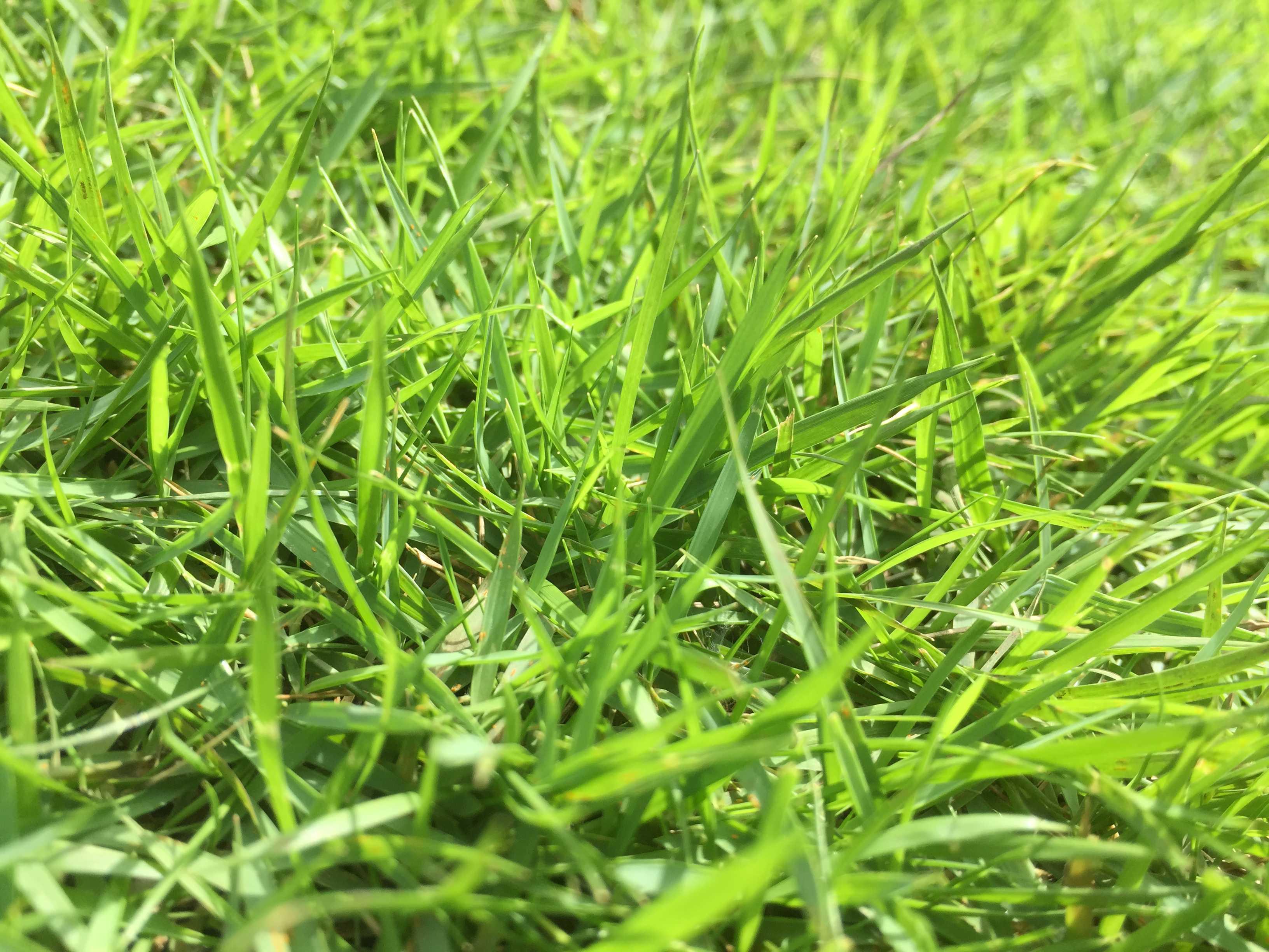 芝生の成長