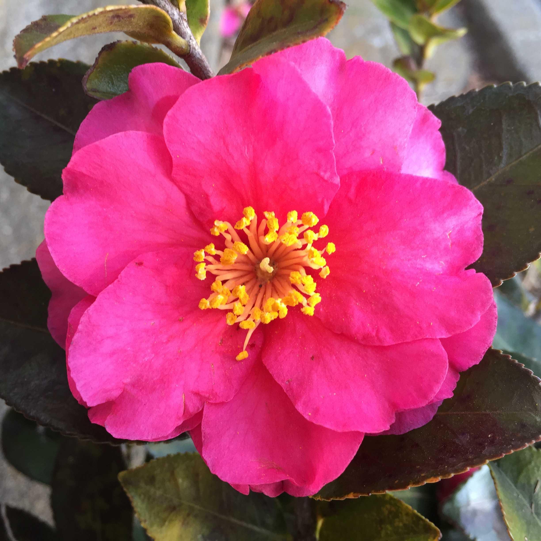 咲き誇る山茶花「獅子頭(シシガシラ)」