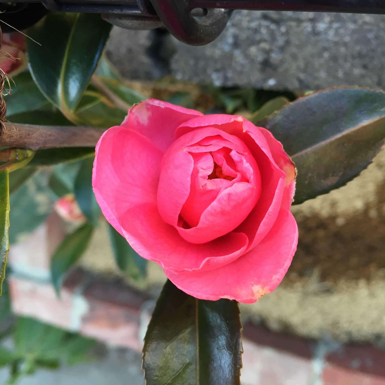 サザンカ「笑顔」の開花