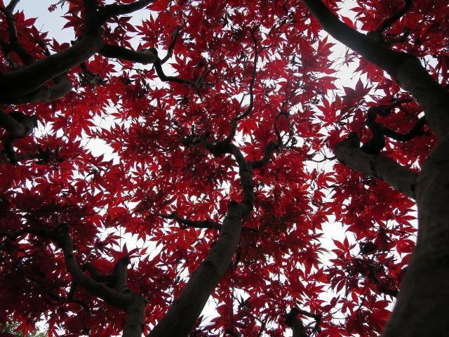 真っ赤なモミジの葉