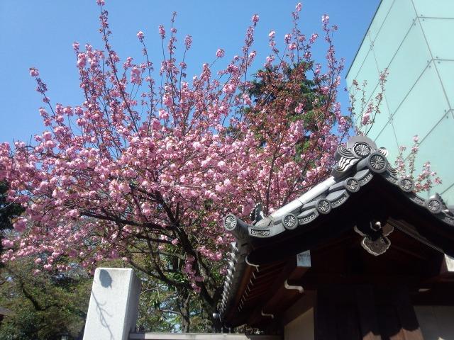 東京・九段 靖国神社の八重桜