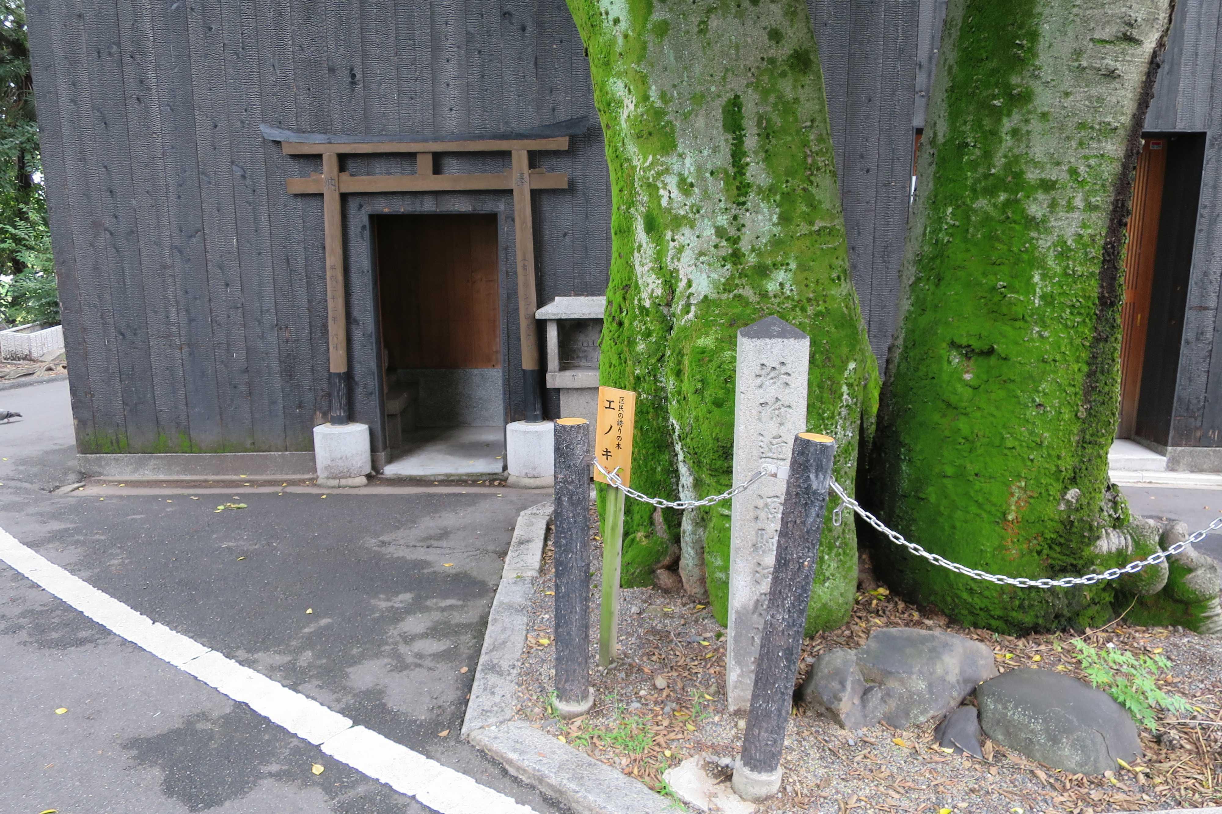 京都・五条 - 苔むす源融の木(エノキ)