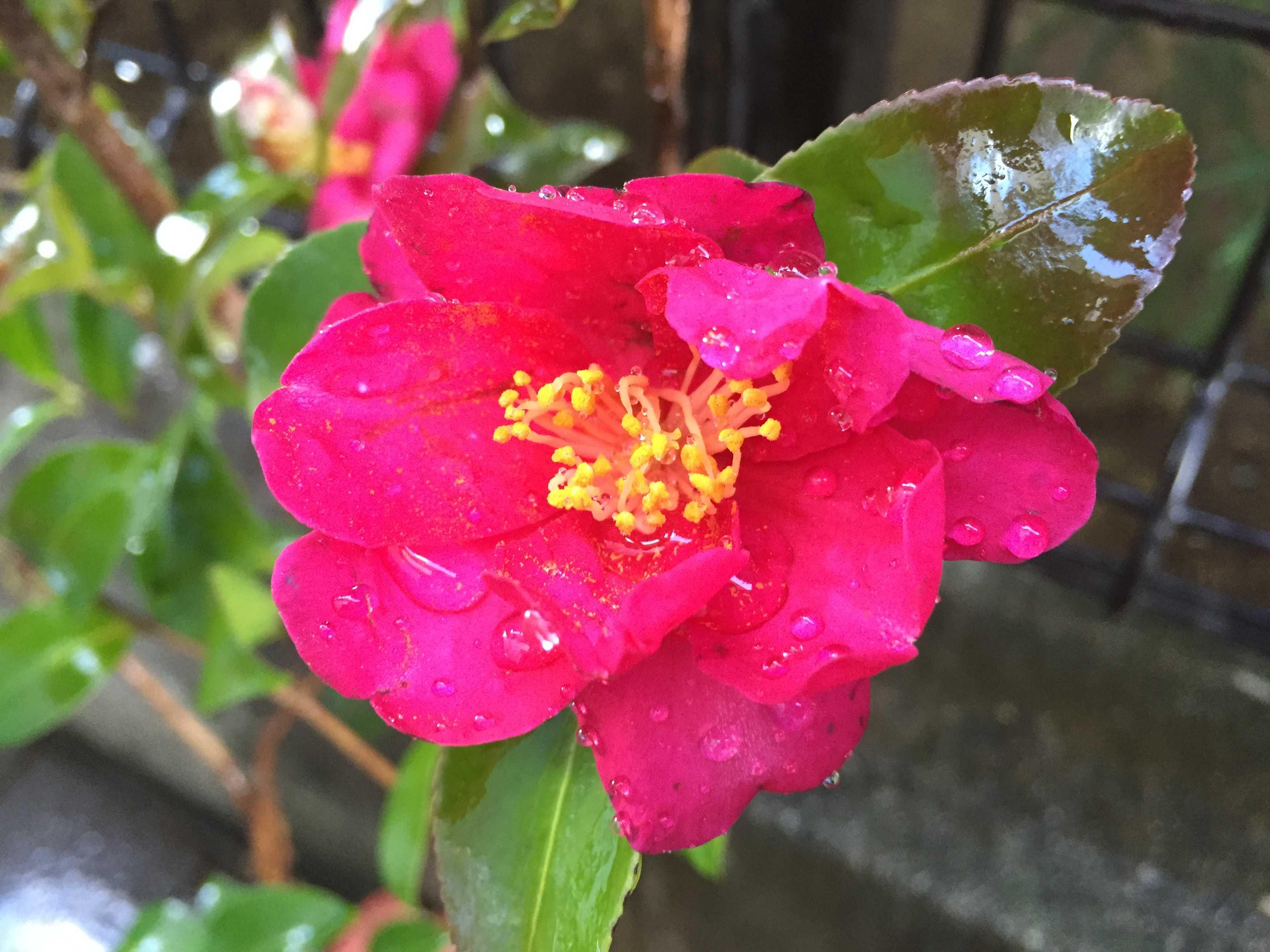 サザンカ(勘次郎)のショッキングピンクの花びら