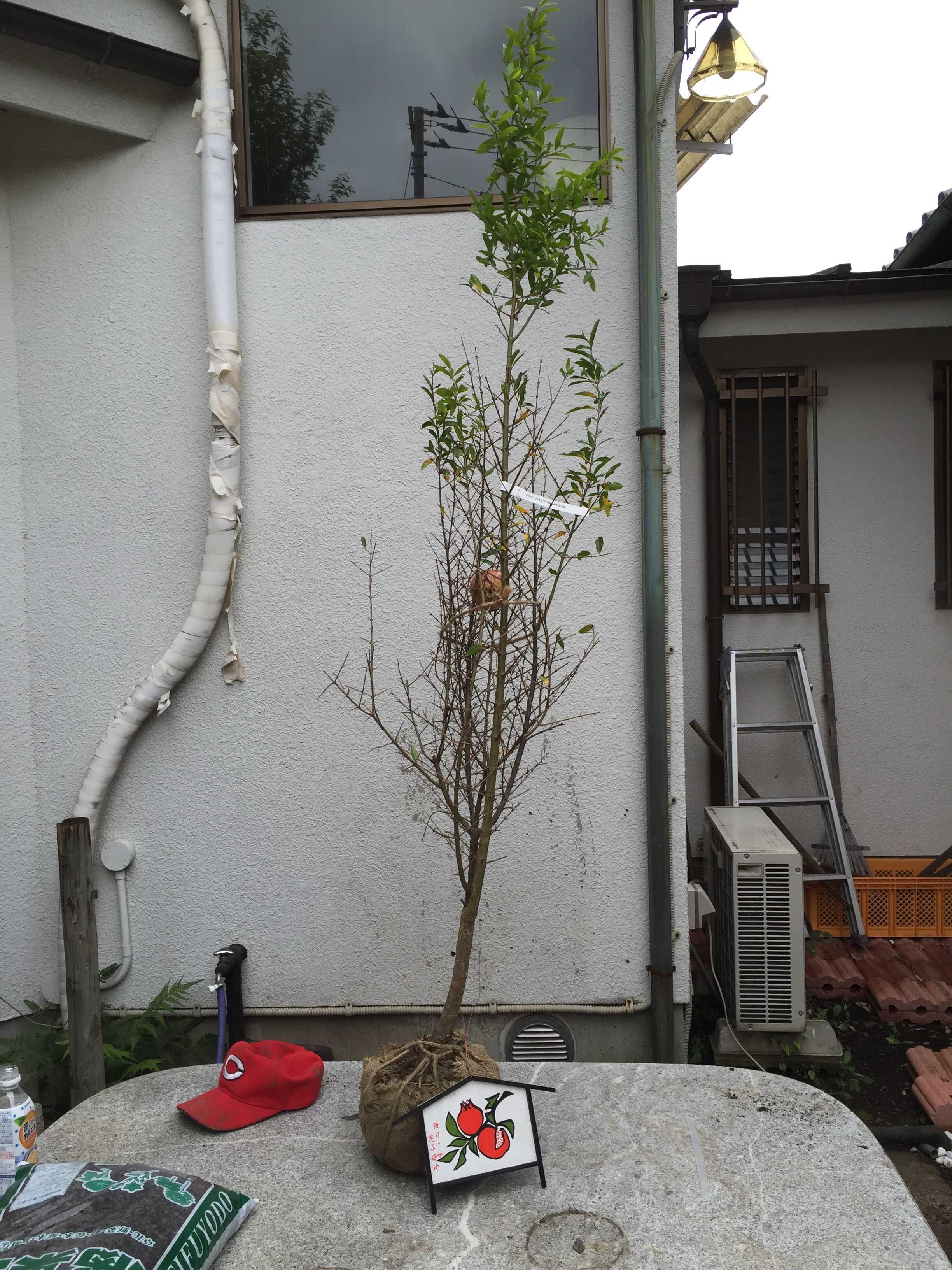 ざくろの木の樹形