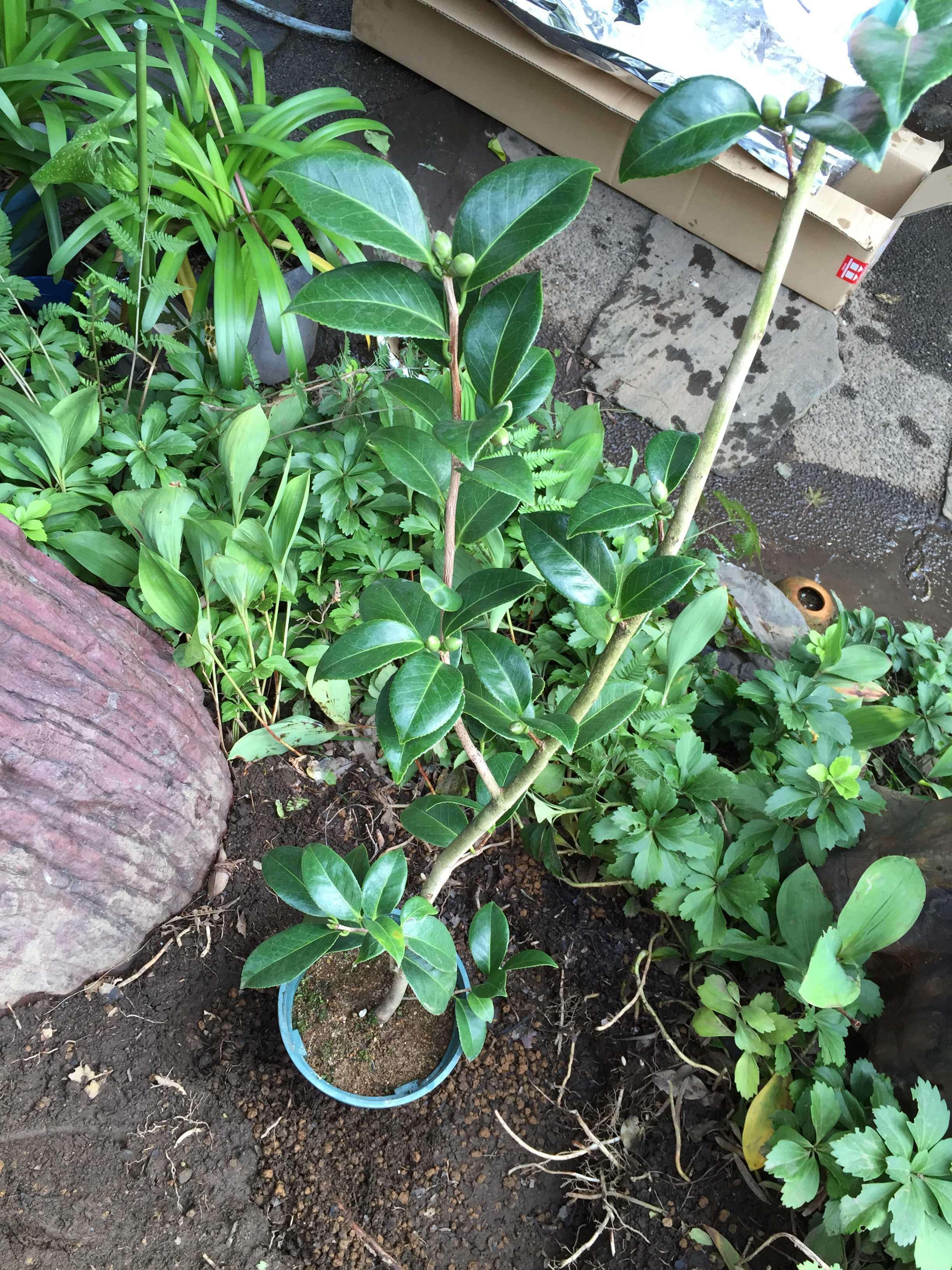 ポット植え(鉢植え)の淡乙女の苗木