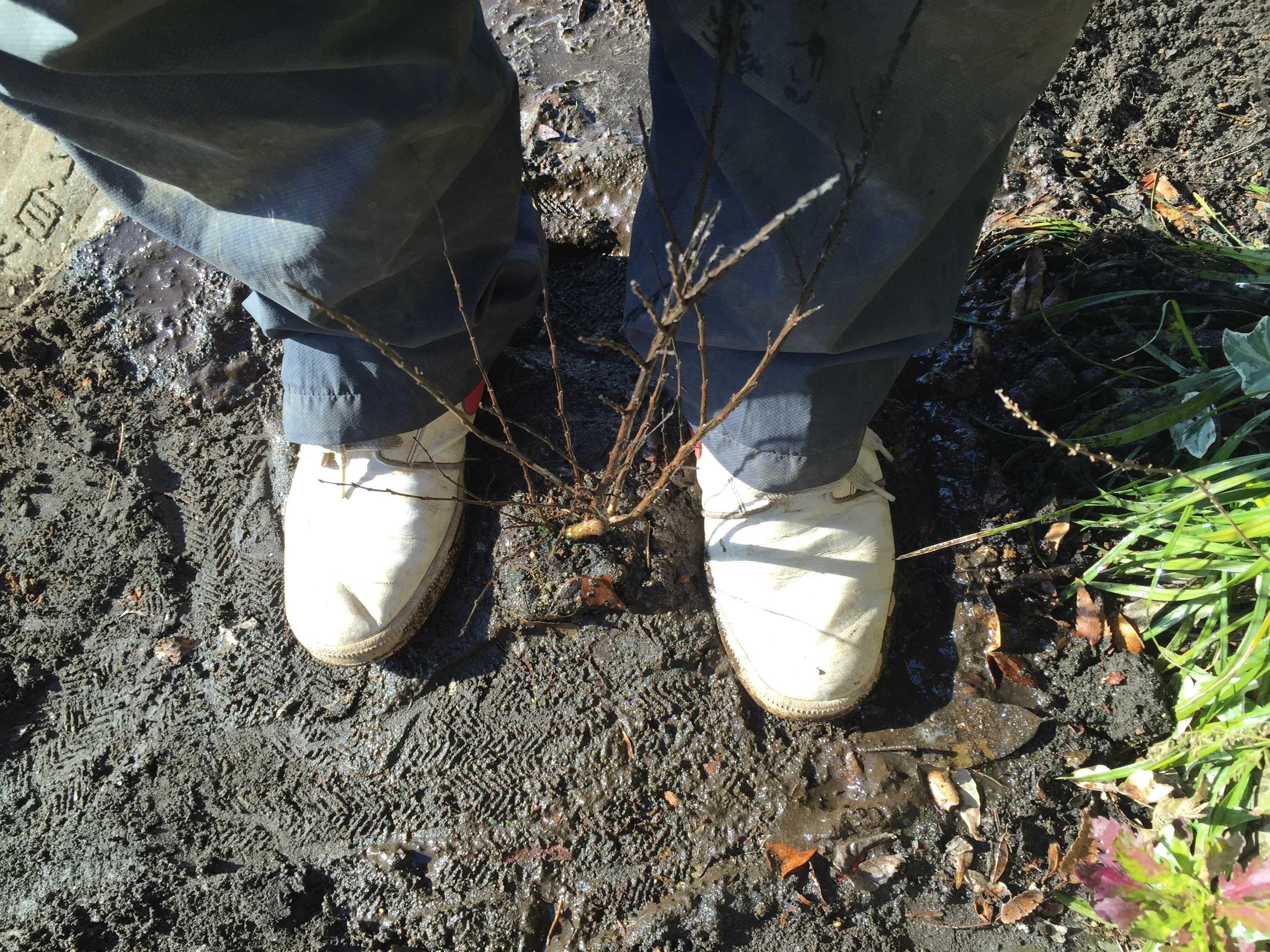 矮性サルスベリの植え付け