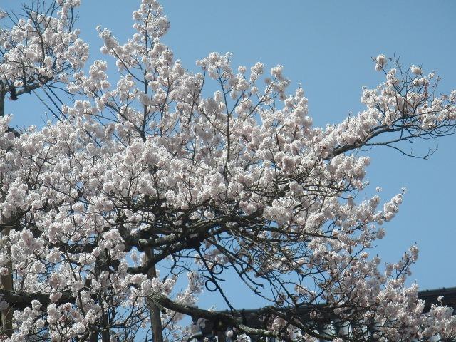 山高神代桜のサクラの花
