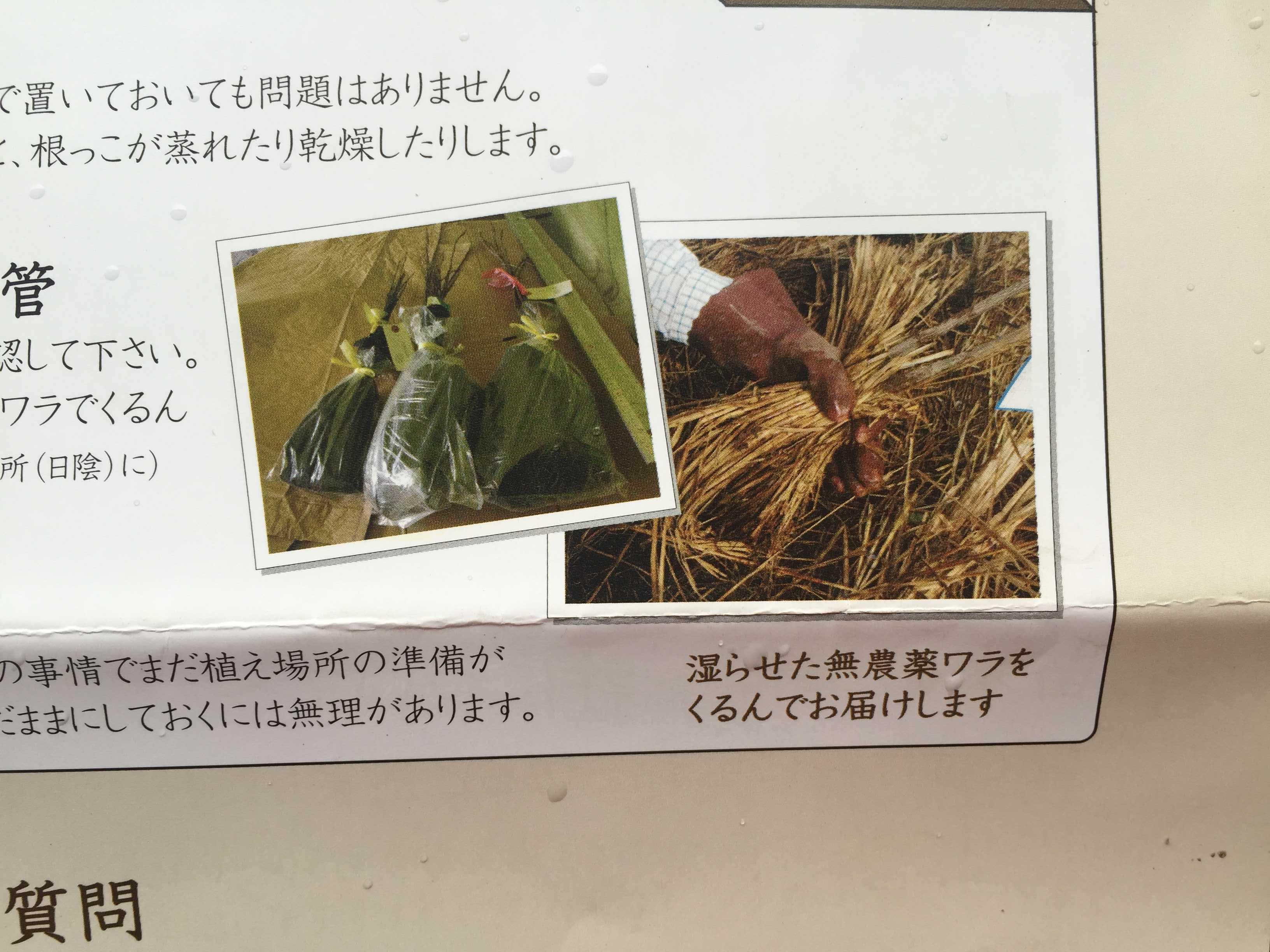 湿らせた無農薬藁(無農薬ワラ)にくるまれた禅寺丸柿