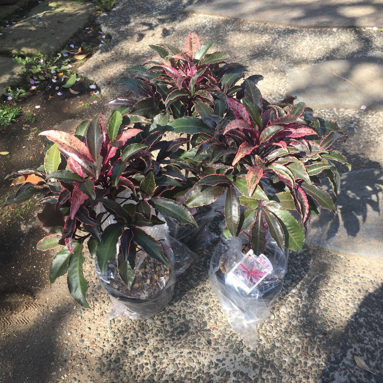 万両 紅孔雀の植え付け - 赤実種