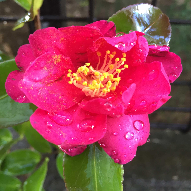 サザンカ(タチカン/立寒椿)の勘次郎の真っピンク色な花びら