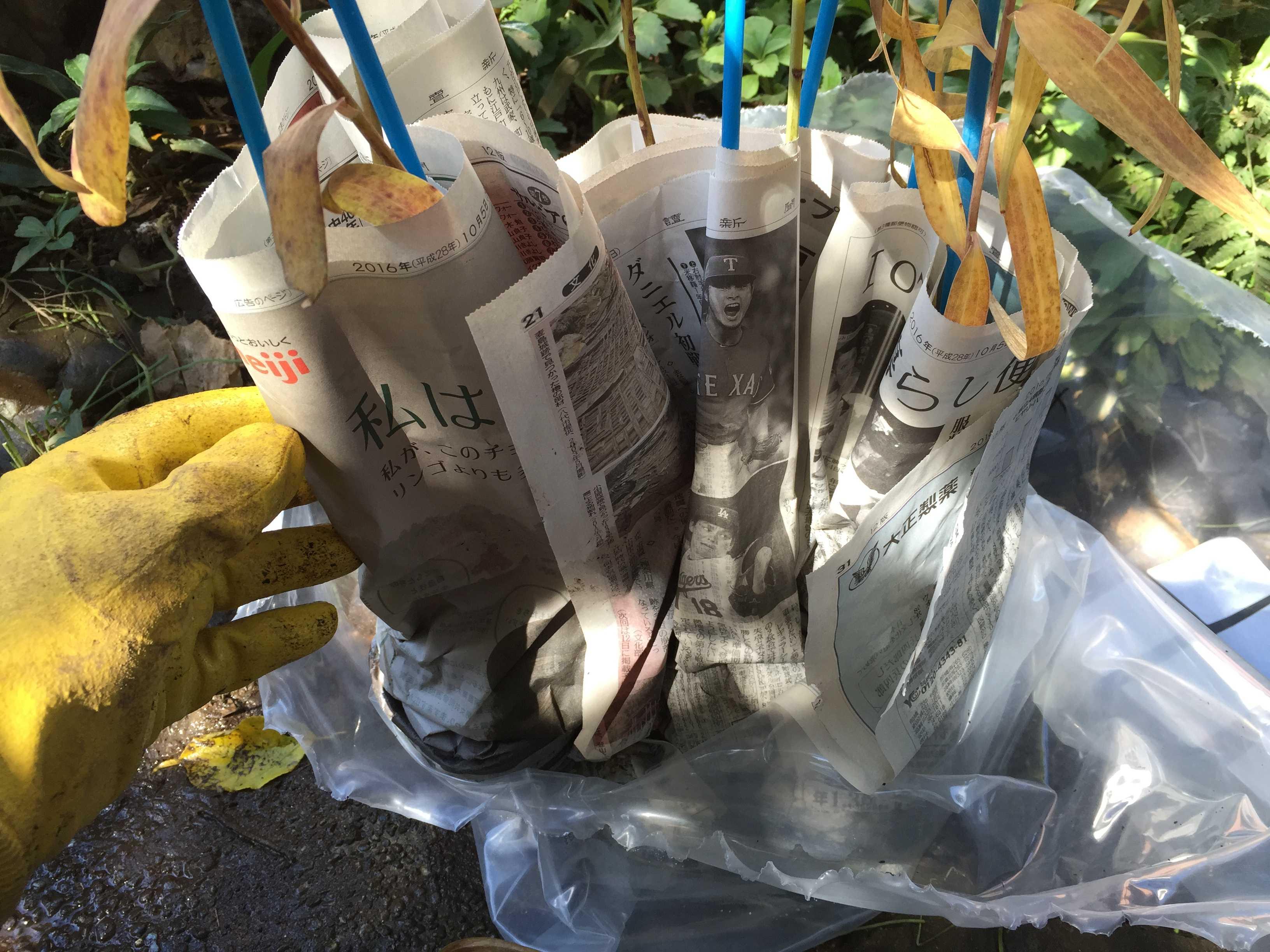 ヤマユリ庭植え - ポット苗を包んだ新聞紙