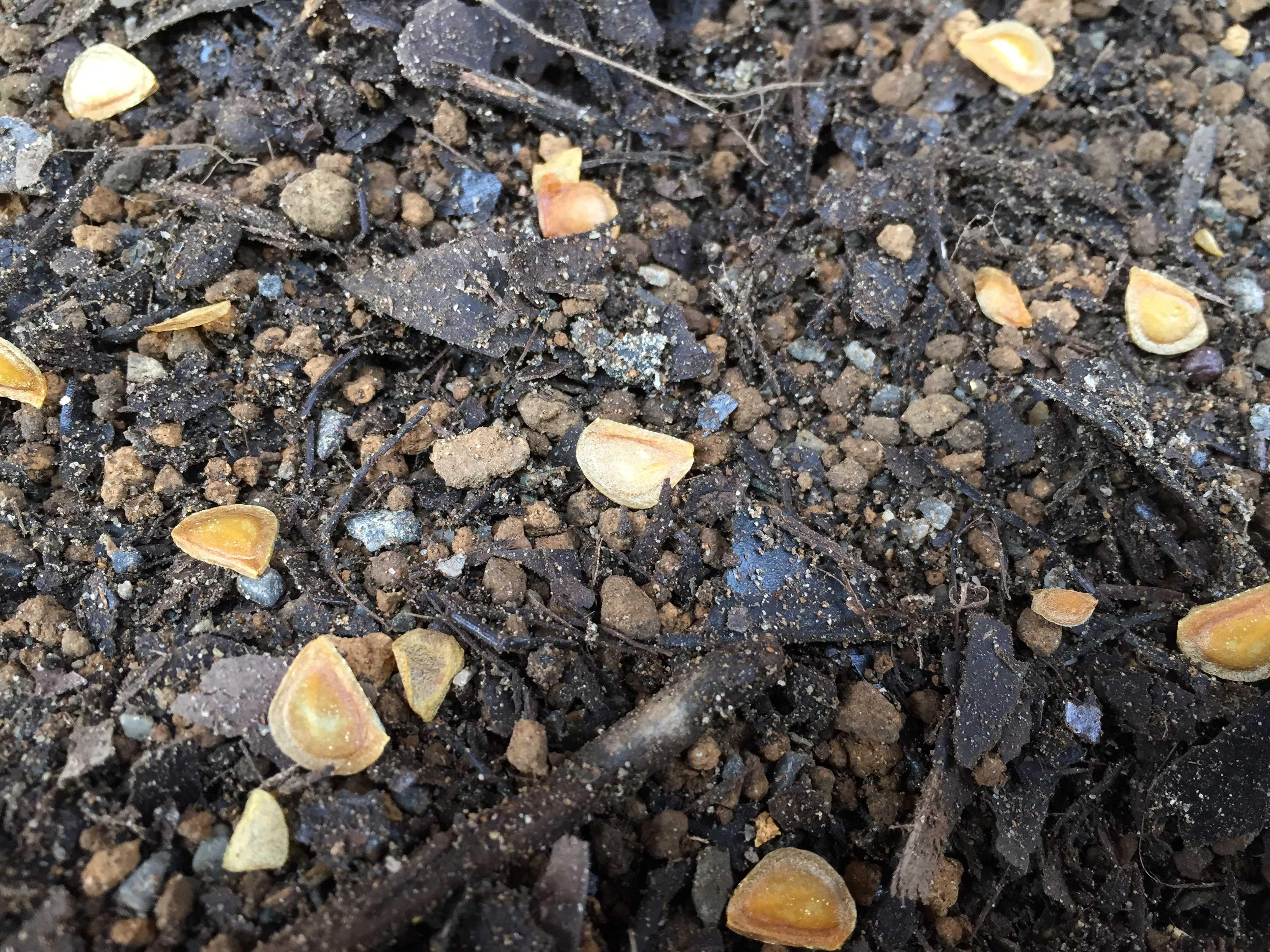 ヤマユリの種子繁殖/実生 - 播かれたヤマユリのたね