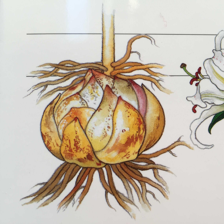 角愼作さんのヤマユリ/山百合の球根のイラスト