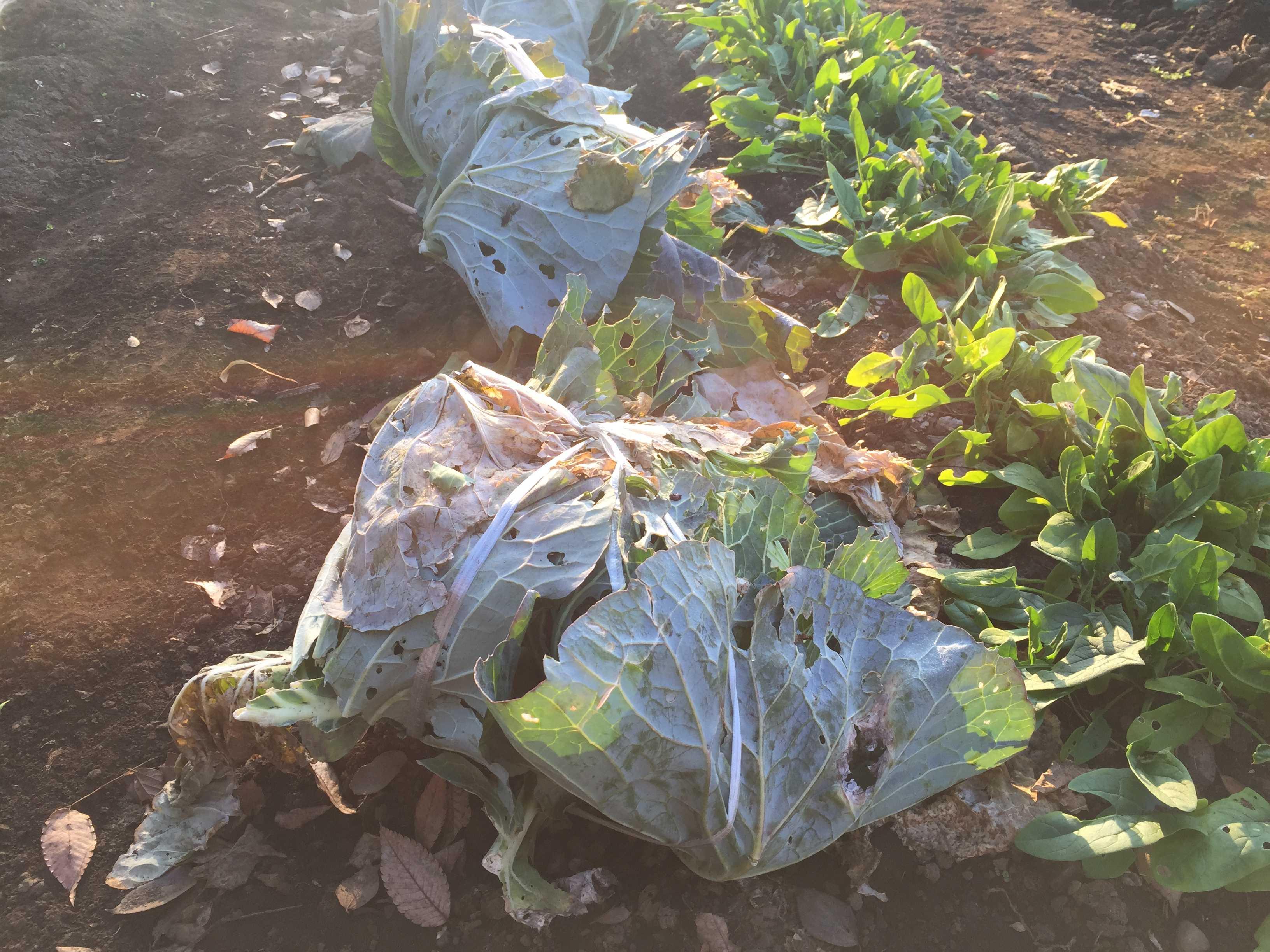 朝日に照らされる白菜