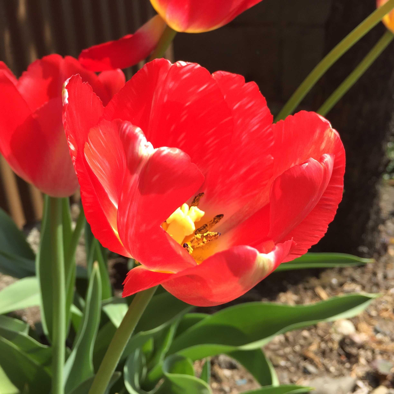 チューリップの赤い花