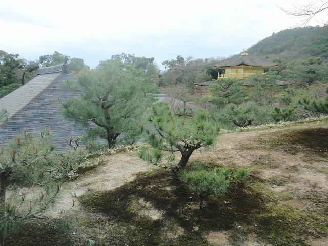 金閣寺の松