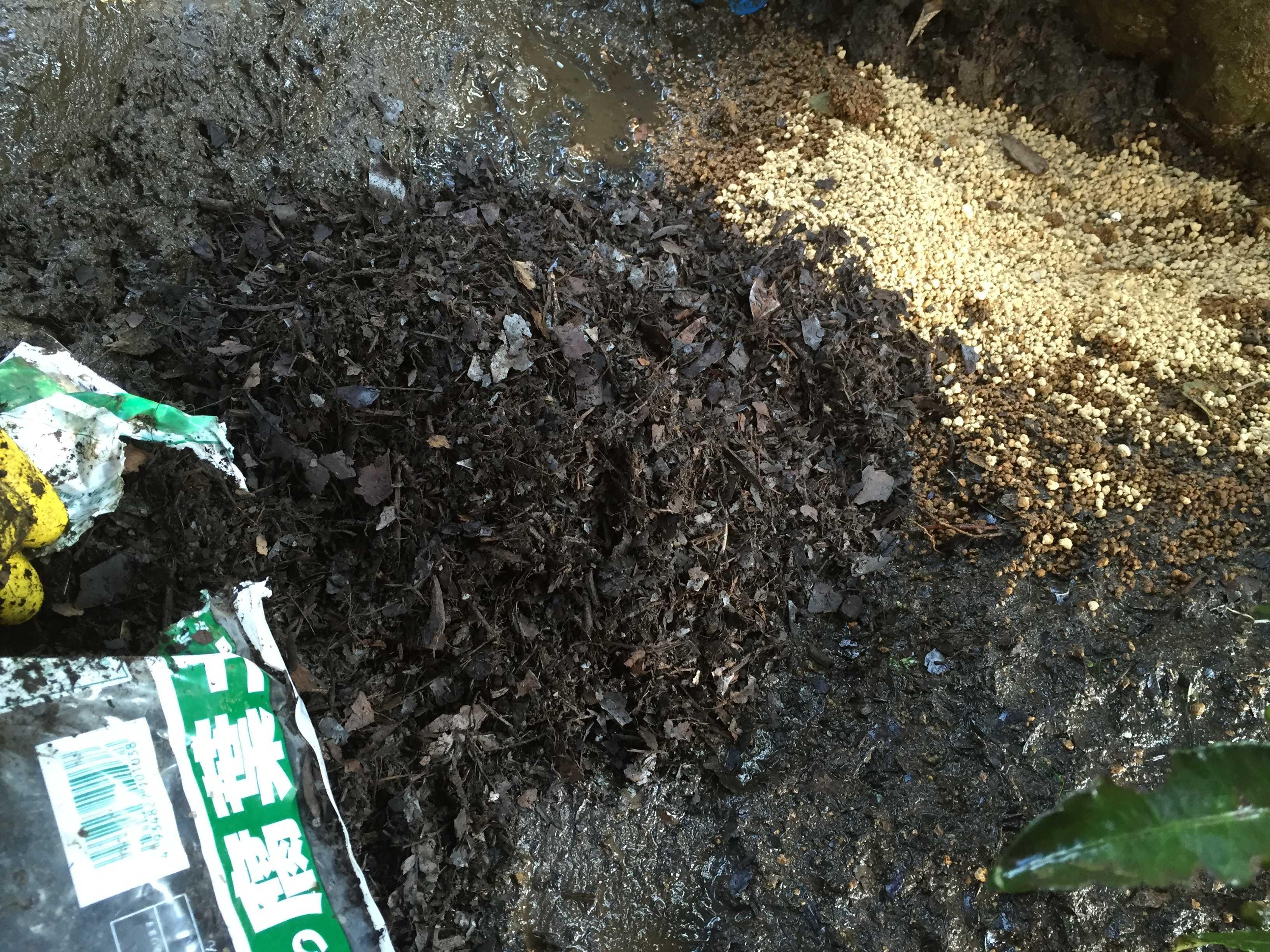 黄実の千両(キミノセンリョウ) の植え付け - 腐葉土
