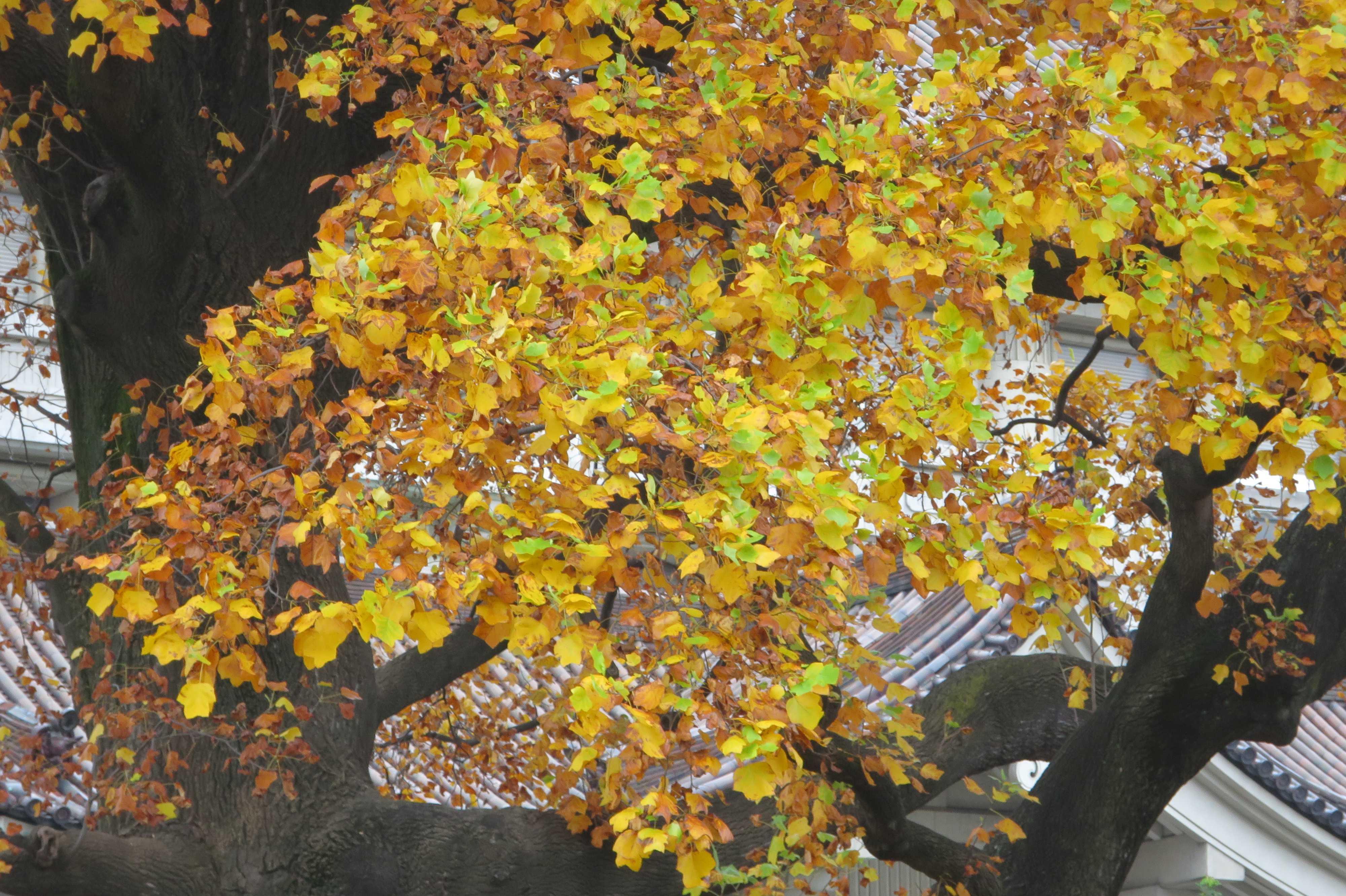 紅葉(黄葉)したユリノキの葉っぱ