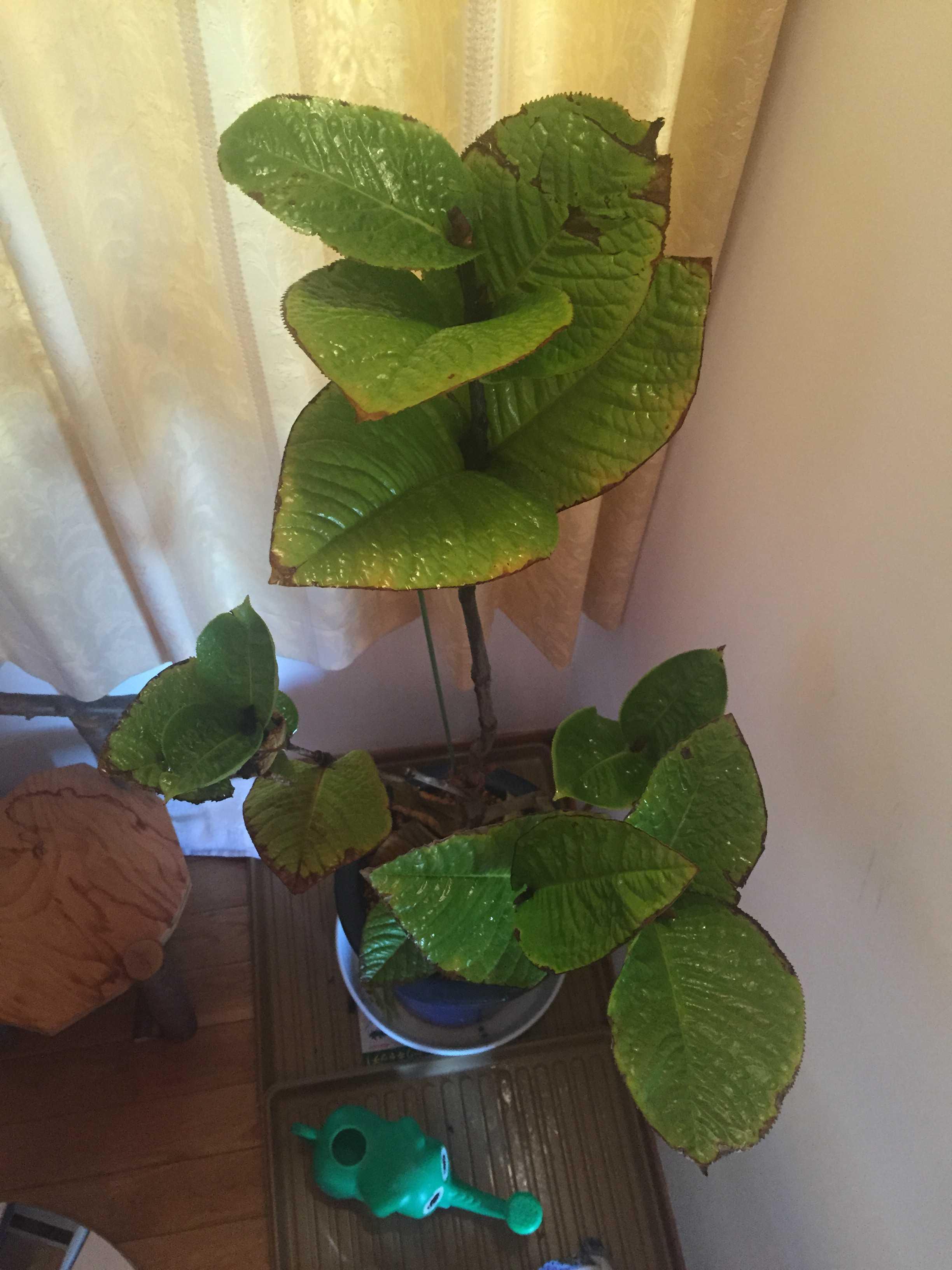 ベトナム原産の椿「ムラウチイ」 学名: murauchii