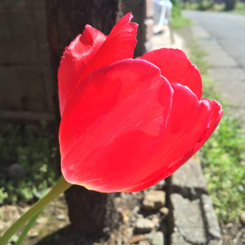 チューリップの赤花