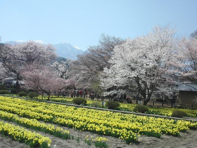 実相寺境内の菜の花