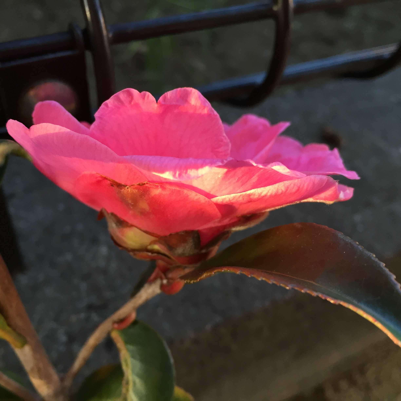 春サザンカの開花