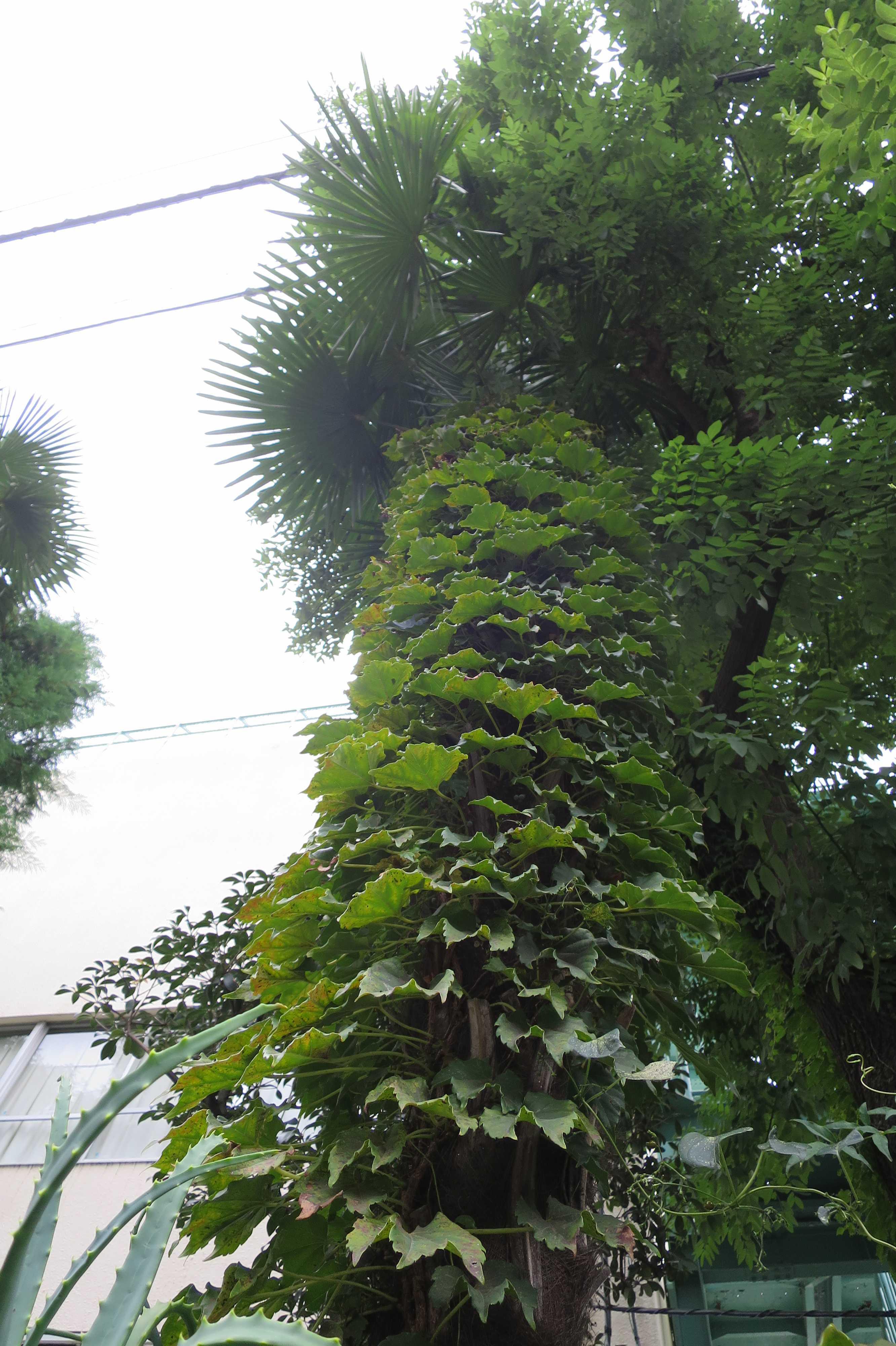 蔦(ツタ)を着た棕櫚(シュロ)の木
