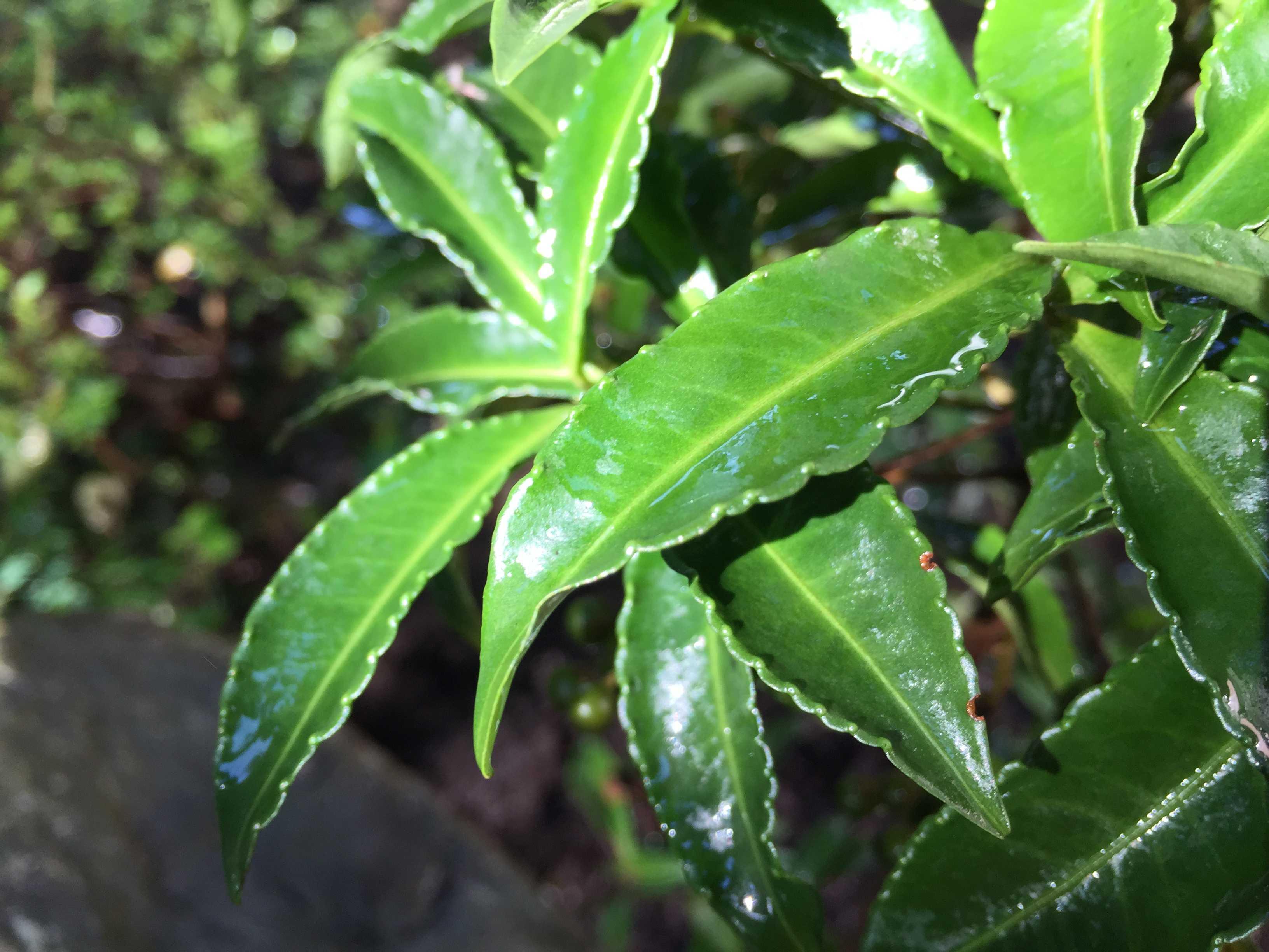 """""""縁起物の木"""" 万両(マンリョウ)の深い緑色の葉"""