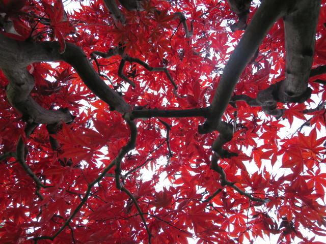 真っ赤なもみじの葉