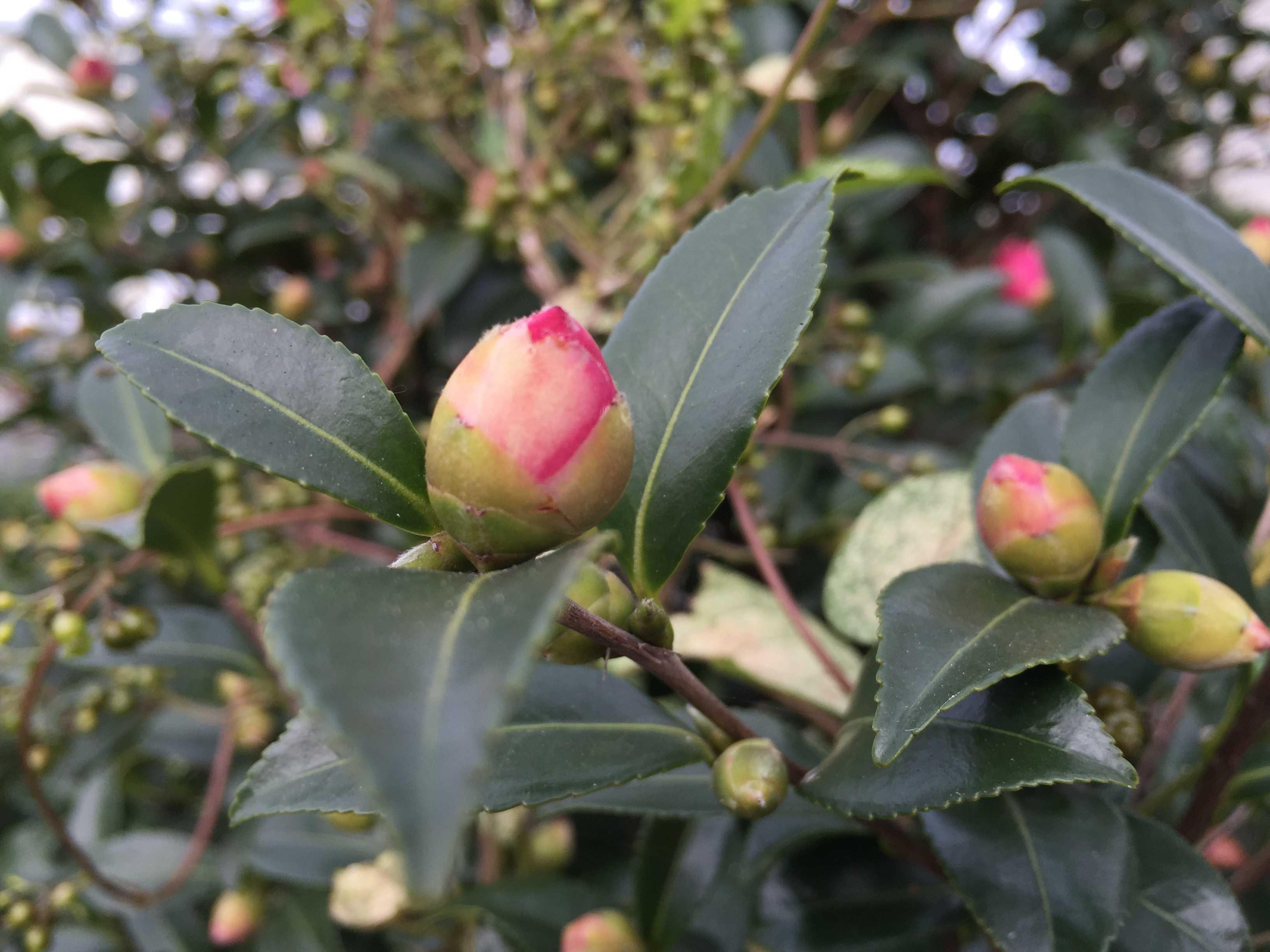 山茶花の蕾の写真