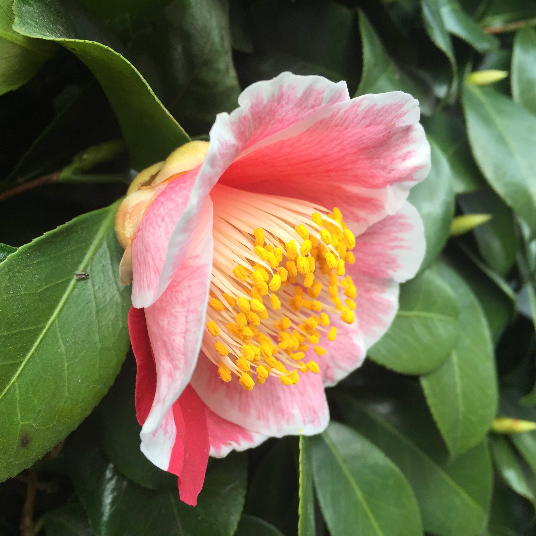椿「覆輪蜀光(フクリンショッコウ)」の花弁
