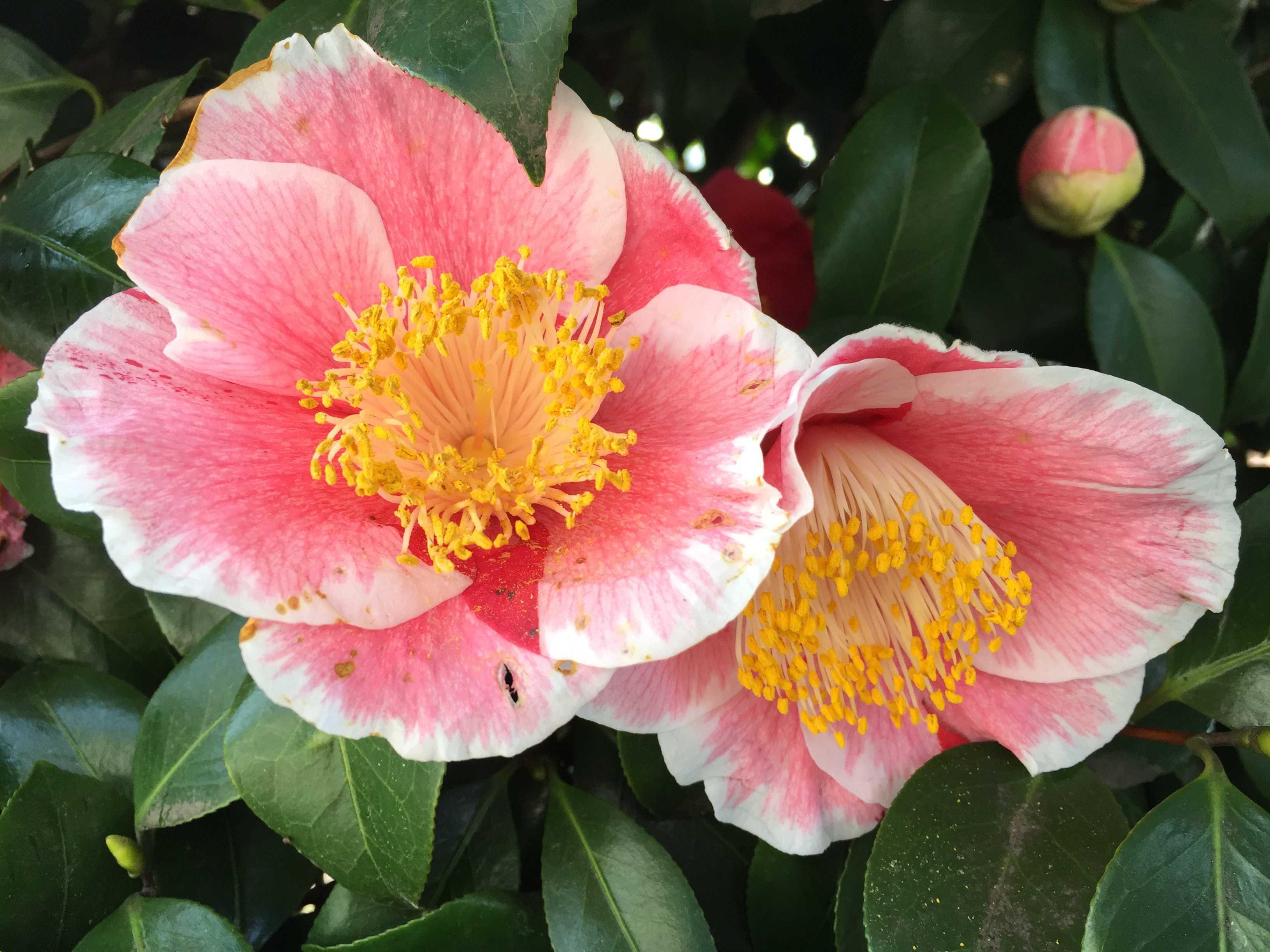 参平椿 - 桃色に白の覆輪のあるツバキ