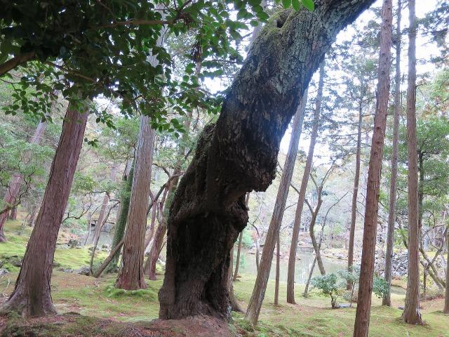 苔寺(西芳寺)の木