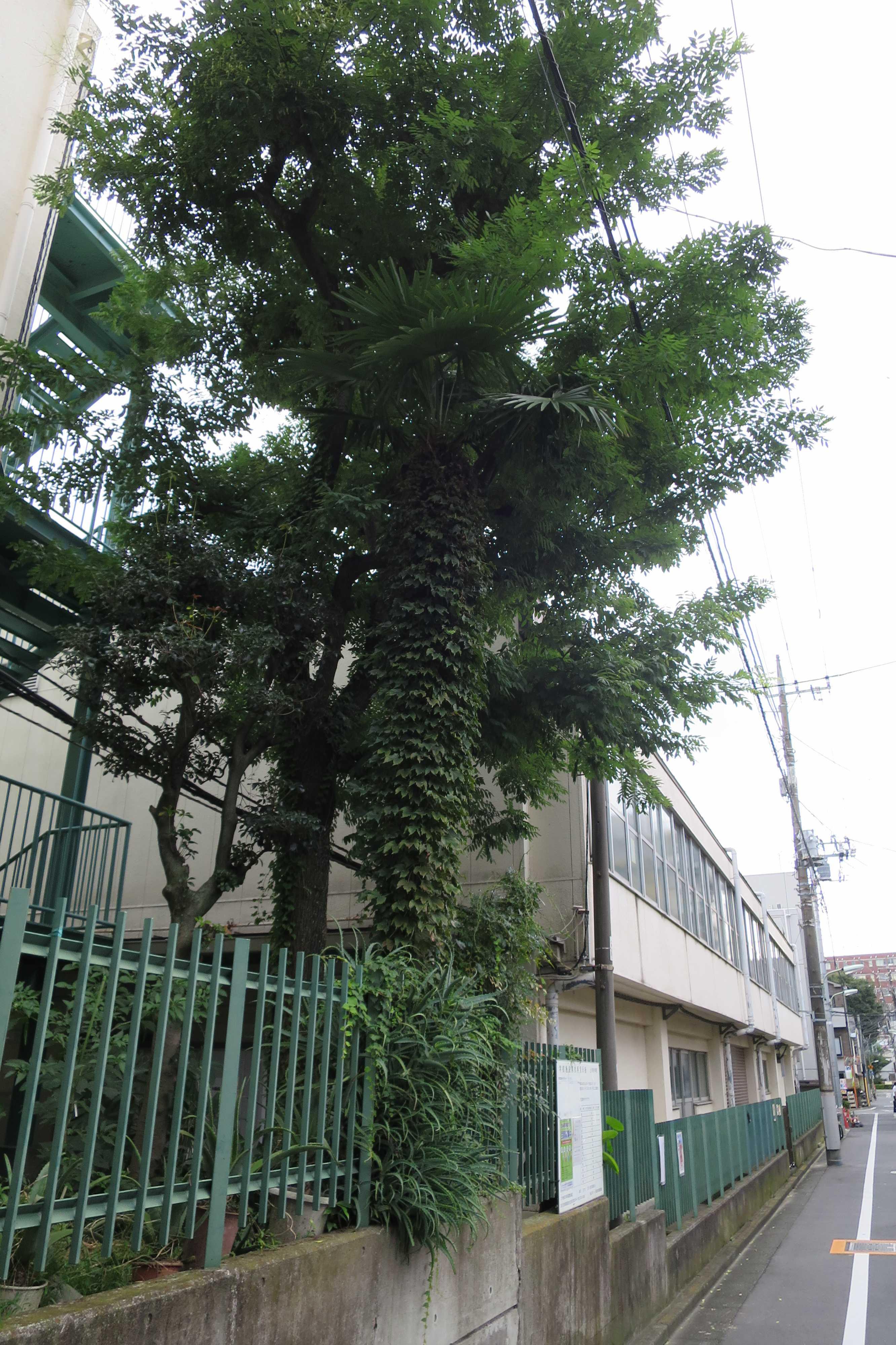 蔦(ツタ)に絡まれた棕櫚(シュロ)の木