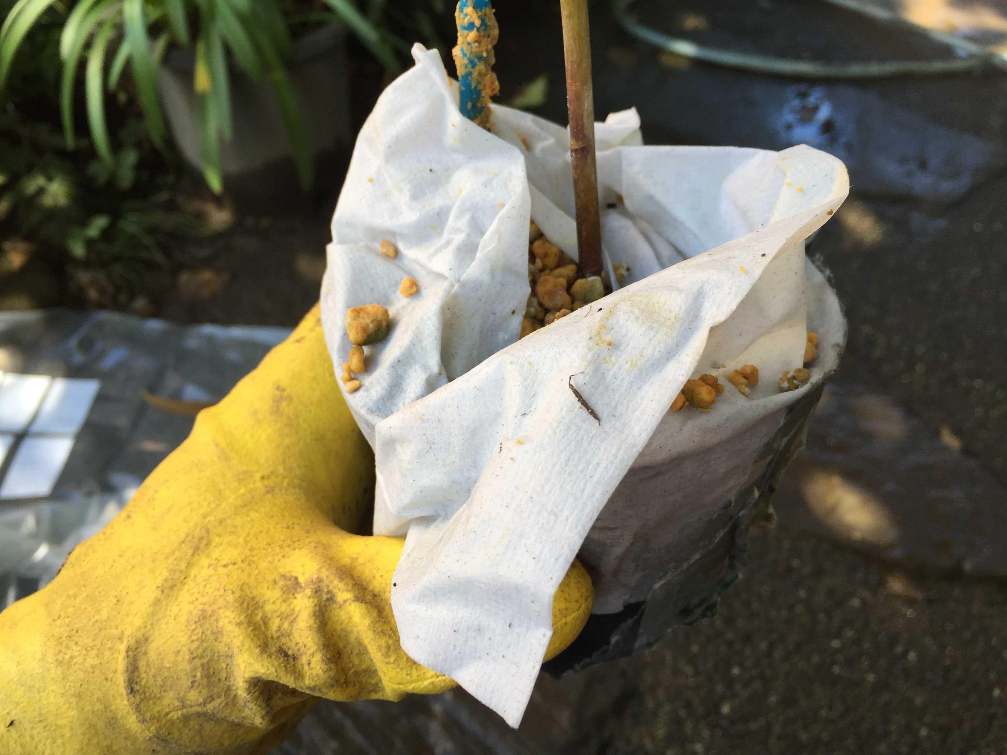 ヤマユリ庭植え - 4号ポット苗
