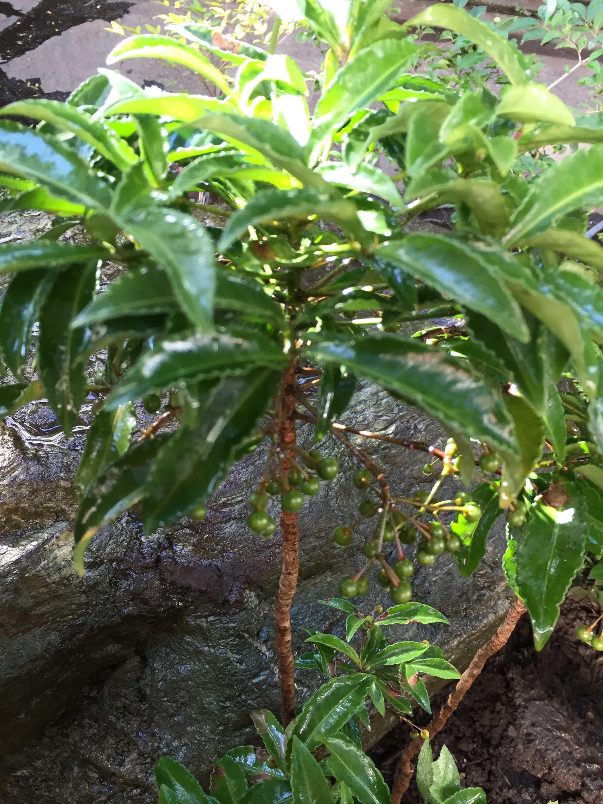 移植した万両(マンリョウ)の木