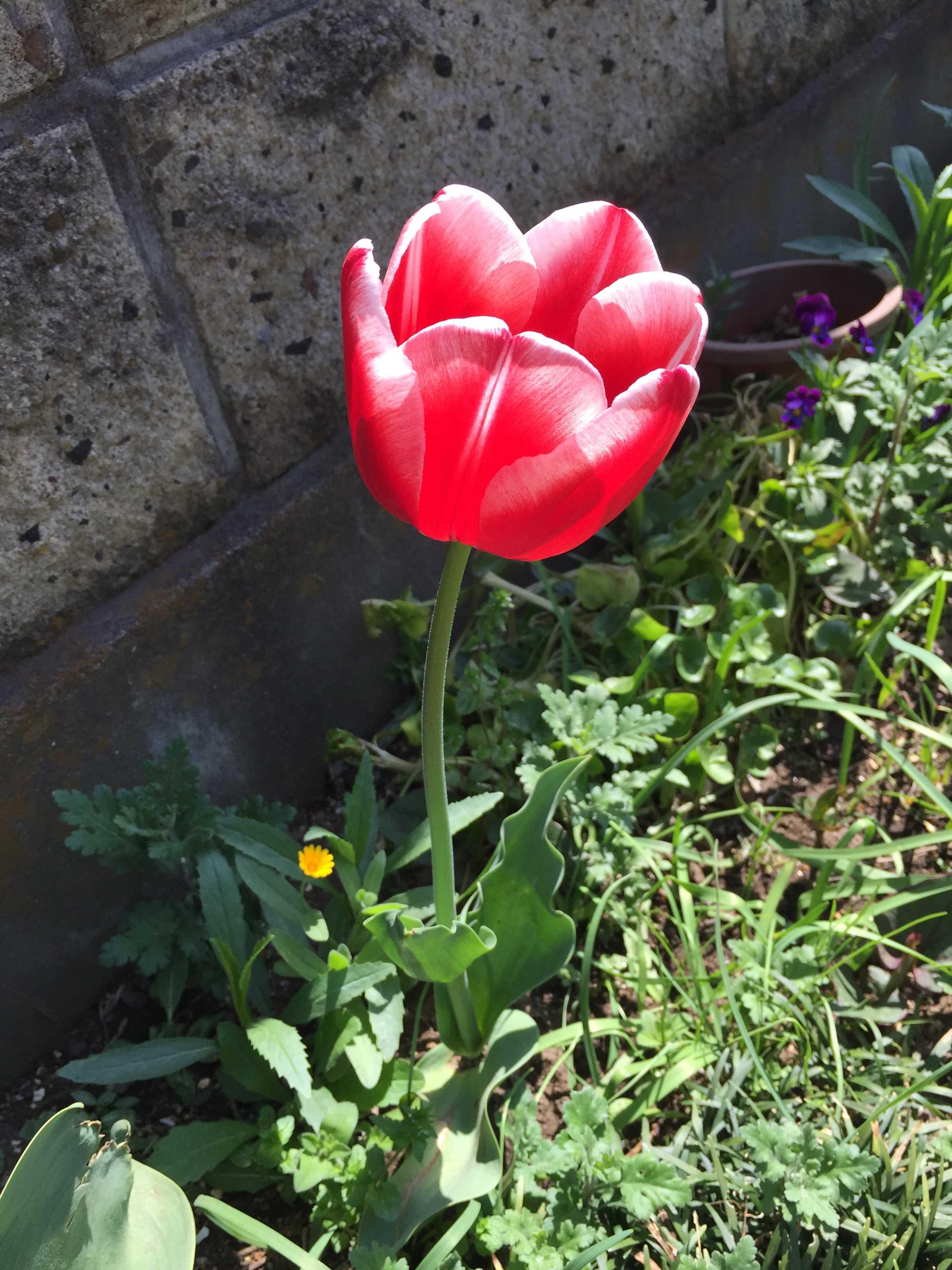 赤色に見事な白の縁取りのチューリップ