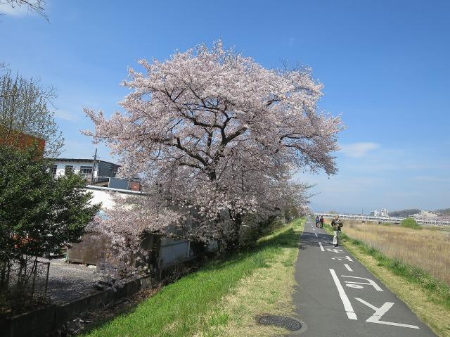 八王子市浅川の桜満開