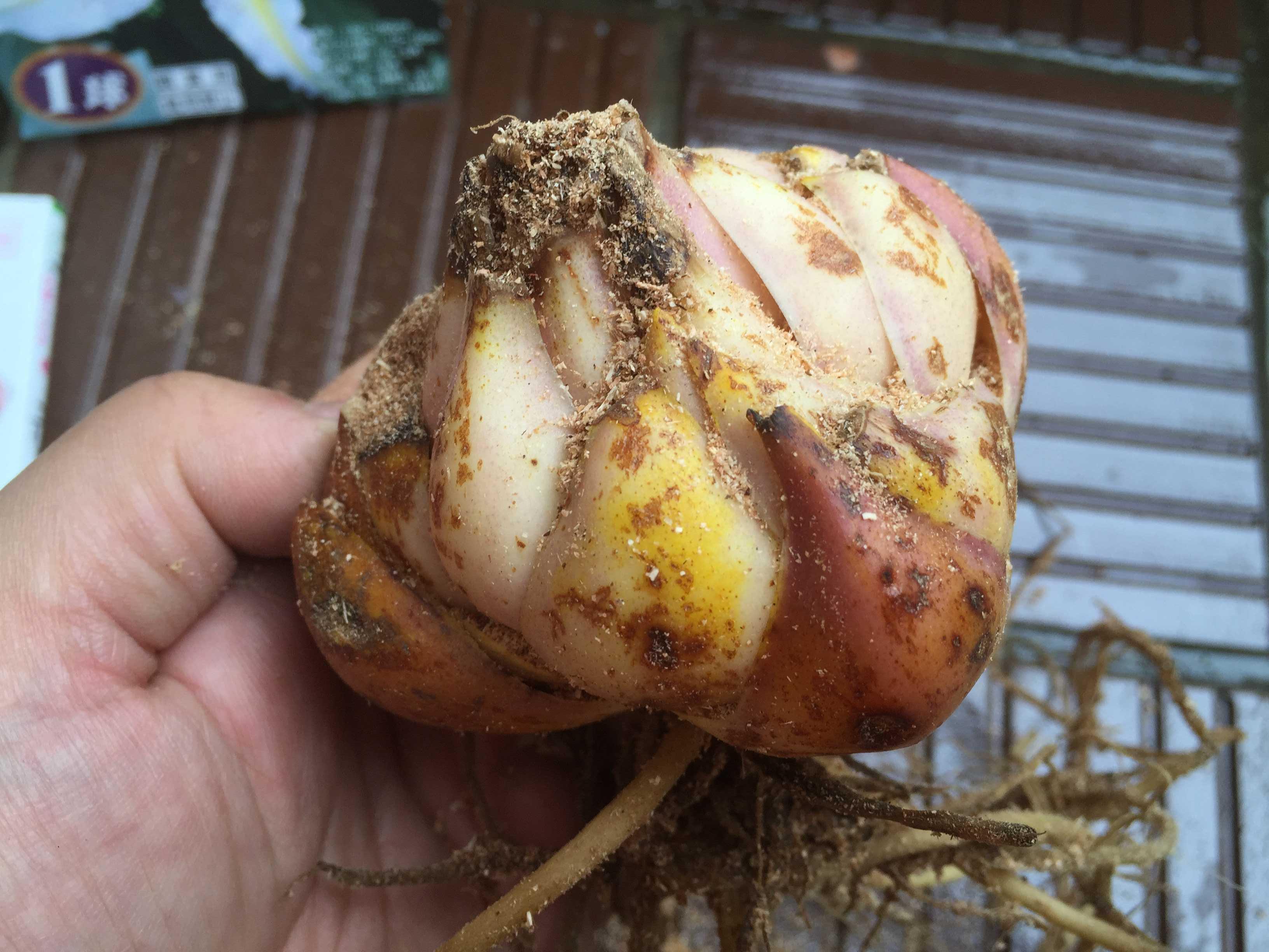 ヤマユリの鱗片挿し - 横から見たヤマユリの球根