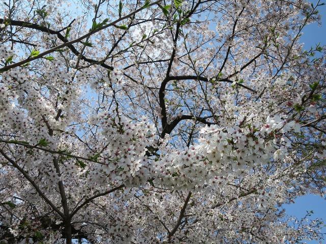 浅川土手のさくらの花びら