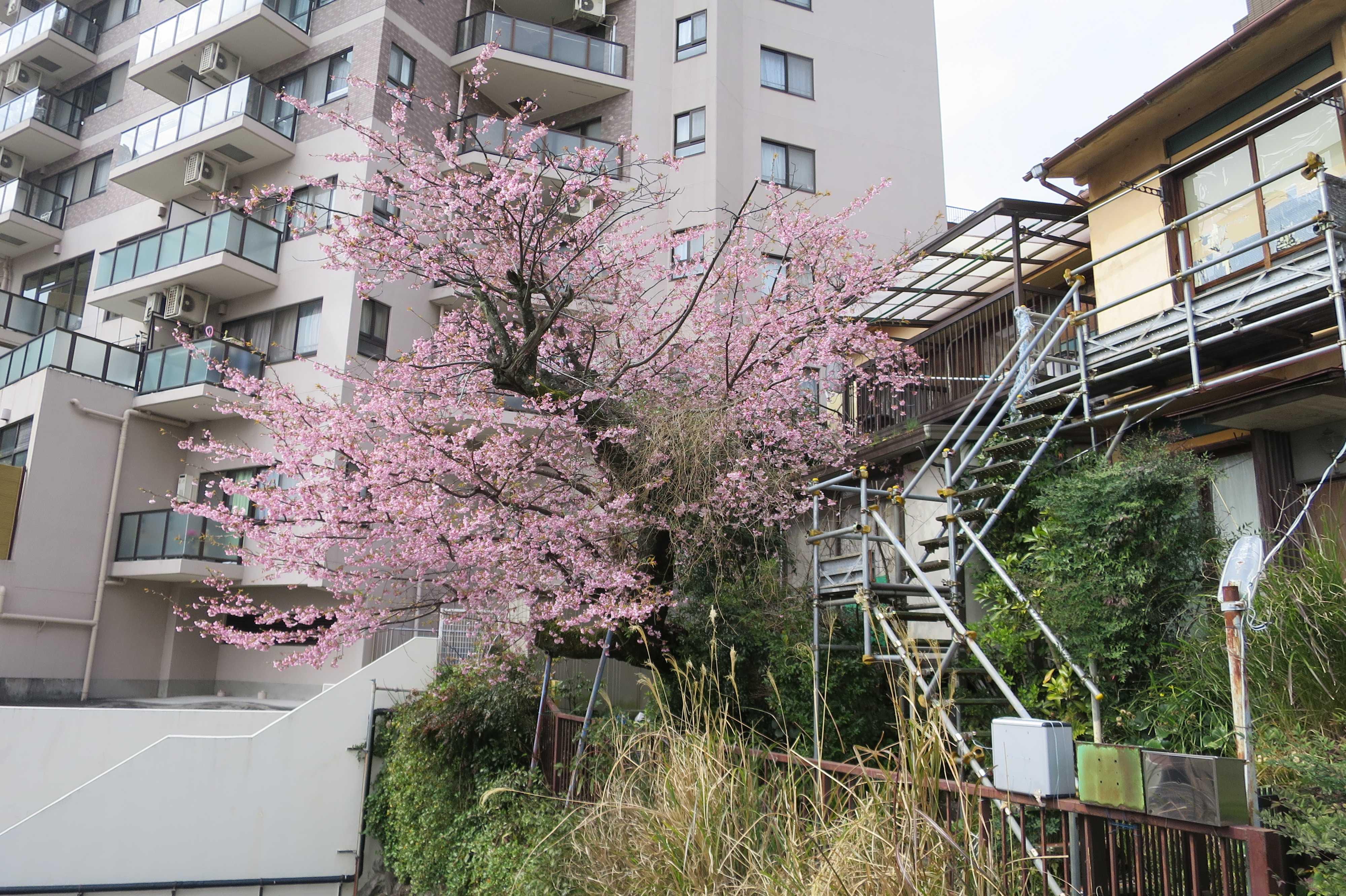 熱海 - アタミザクラ(あたみ桜)