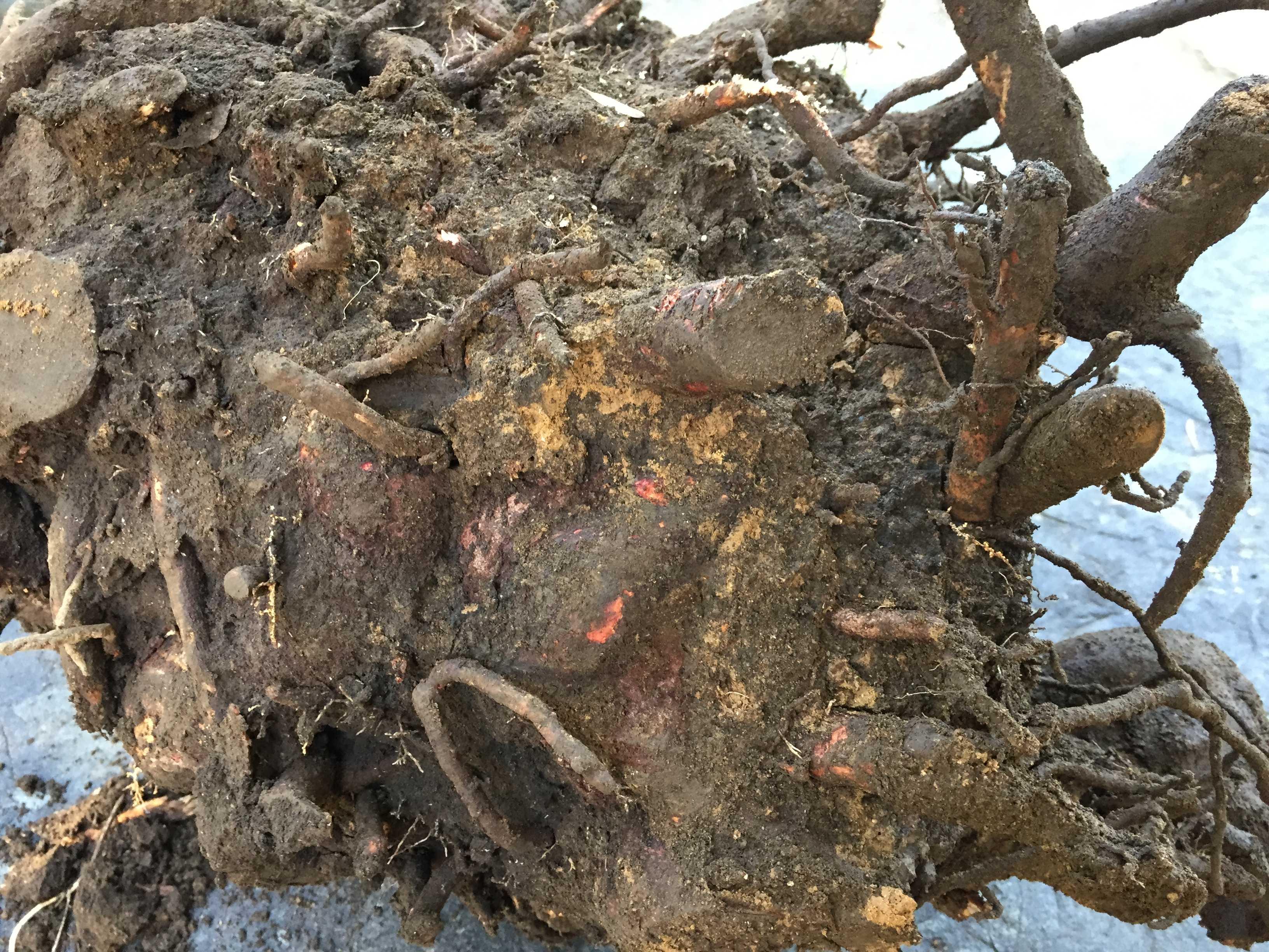 抜根した椿の根