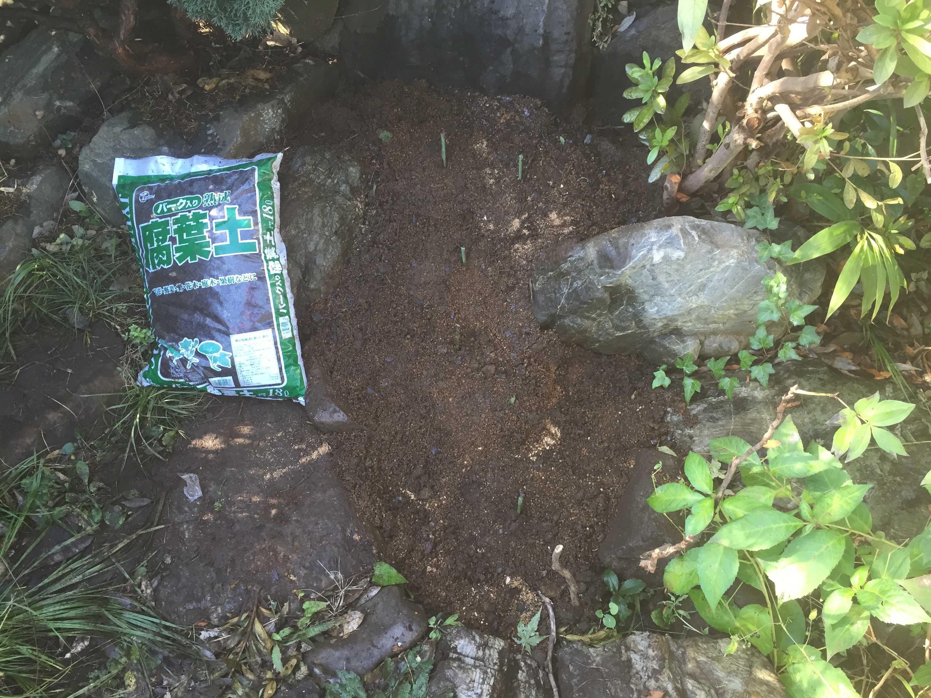 ヤマユリの球根植え付け終了