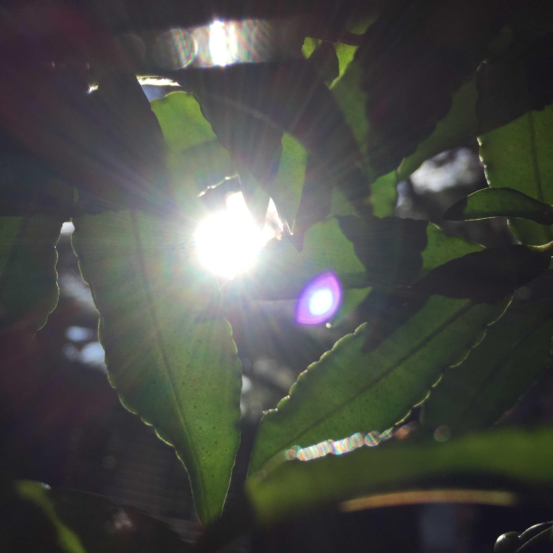木漏れ日を浴びる万両(マンリョウ)の葉
