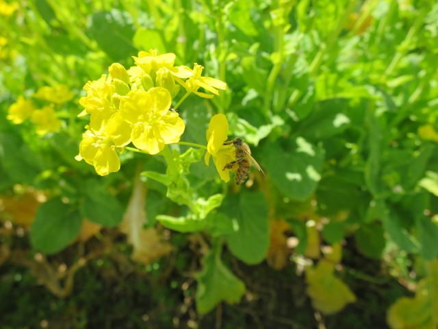 菜の花の緑