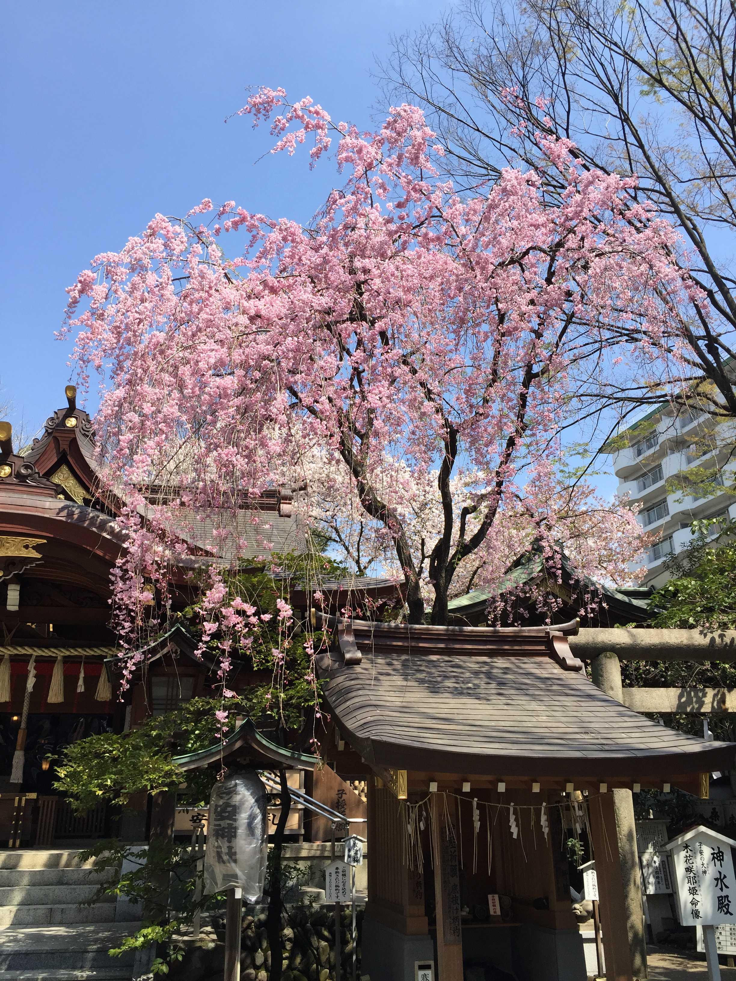子安神社(八王子)のしだれ桜