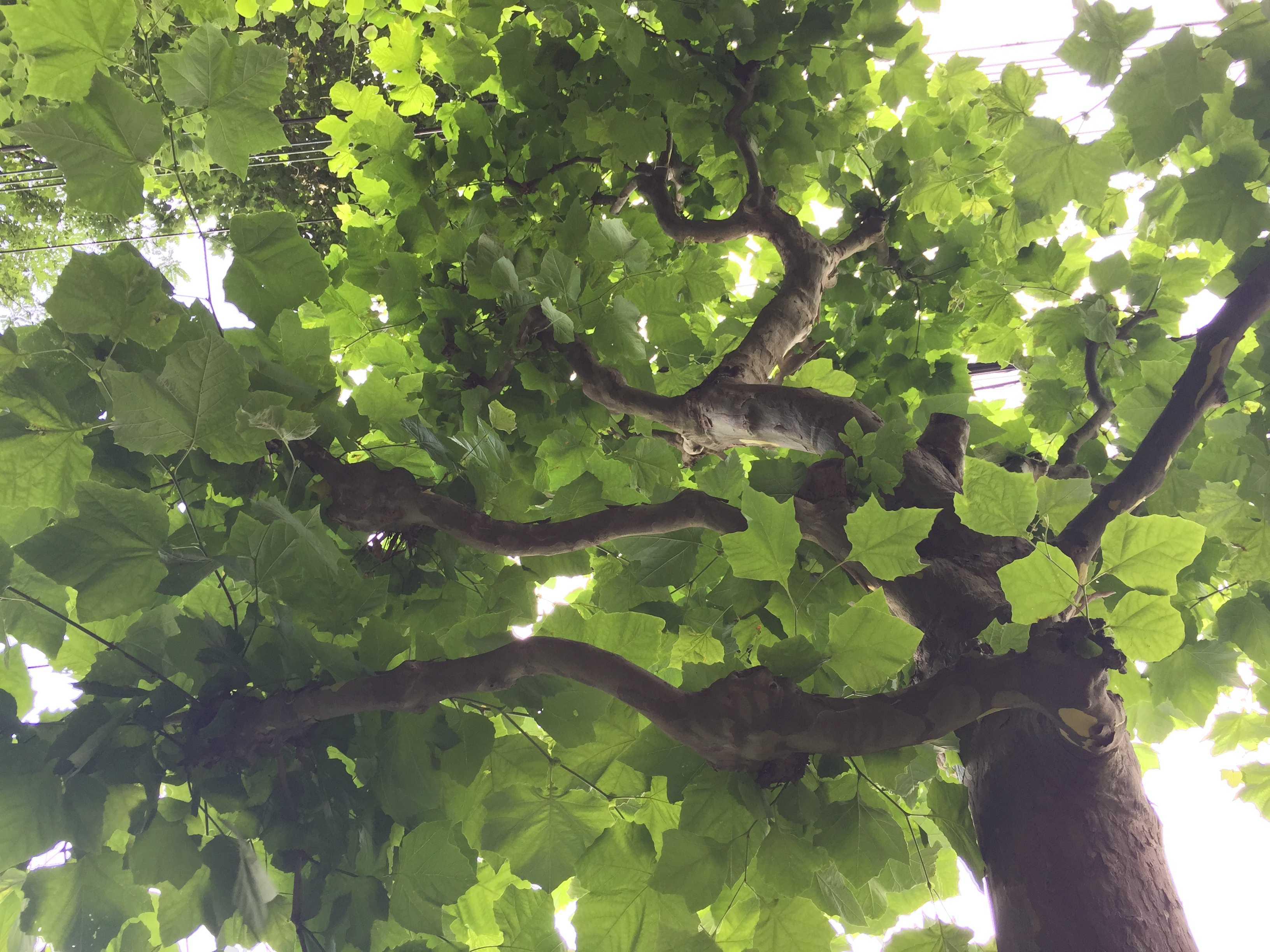 淡い緑が素敵なプラタナスの木